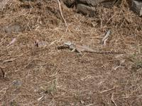 Geckos - überall zu finden