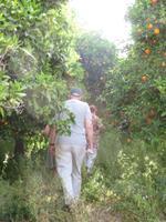 Orangenpflücken