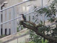 Eisvogel in Rathenow
