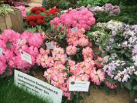 Rhododendronstauden