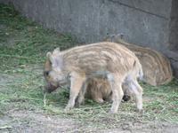 Nachwuchs bei den Wildschweinen...