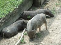 ...und bei den Hängebauchschweinen