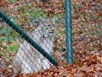 Wildpark Knüll - hier gibt's Luchse