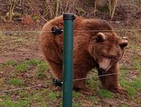 Eine der Bären Damen