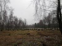 Heidschnuckenherde in der Heide