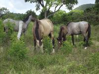 Insel Floreana: Pferde auf der Farm