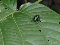 Cuyabeno Reservat - Regenwaldwanderung - MistkÀfer