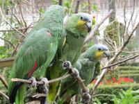 Quito - Altstadt - Franziskanerkloster - Papageien