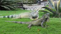 Guayaquil - Park der Leguane