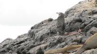 Galapagos - Floreana - Pinguin