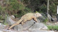 Galapagos - Santa Fee - Gelber Landleguan
