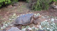 Galapagos - Carles-Darwin-Forschungsstation- Riesenschildkröte