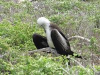 Junger Fregattvogel Seymour Norte