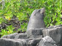 Seelöwenbulle in der Bucht der Post Office Bay
