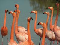 Balz der Flamingos in Floreana