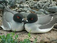 Ein Paar Gabelschwanzmöven