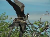 Fregattvogel mit Jungtier auf Seymour