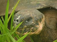 Santa Cruz Riesenschildkröte