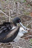 fregattvogel seymour