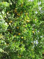 0129 Kreuzfahrt AIDAvita - Adria - Inselrundfahrt Korfu- Zitronenbaum
