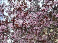 Mandelblüten Valdemossa