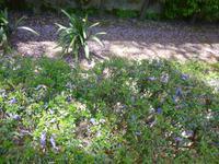 Sevilla Alcazar Gärten Jacarandablüten
