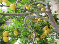Der Duft von Zitronen und der Orangenblüte ...