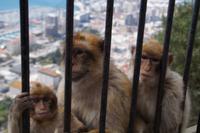 Affenfamilie Gibraltar