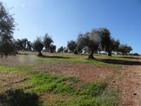 Olivenbäume prägen den Süden Spaniens