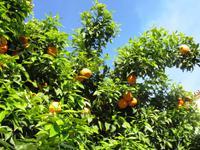 Wir lernen den Unterschied zwischen den Orangen