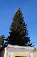 Pinsapo (die in der Sierra de Grazalema heimische Igeltanne)