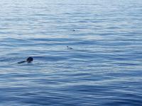 Kurzflossenpilotwale