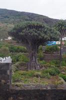 1000-jähriger Drachenbaum