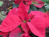 Weihnachtsstern im Botanischen Garten von Santa Cruz
