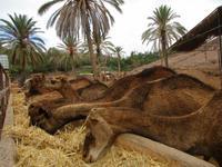 die Kamele im Oasis- Park