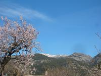 blühende Mandelplantage - im Hintergurnd Schnee