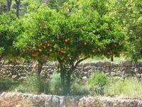 Orangenbäume in den Gärten von Alfabia