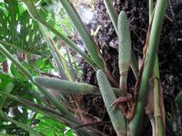 Früchte der Monstera - die Ananasbananen