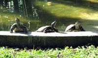 Sonnenbad der Schildkröten im Botanischen Garten von Funchal