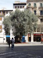 Olivenbaum in mitten von Palma