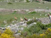Seltene Gänsegeier in der Sierra de Grazalema