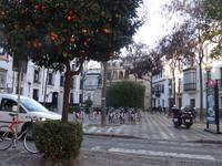Überall sieht man Orangenbäume in Sevilla