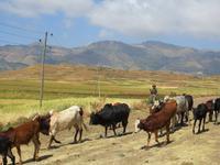 auf dem Weg zum Viehmarkt