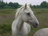 Porträt eines Camargue-Pferdes