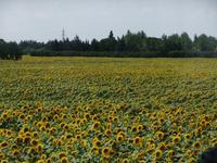 Provence, Sonnenblumen