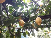 Wanderkreuzfahrt mit der Berlin - Zitronenbäume