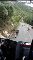 Korsika, Cap Corse, Ziegen auf der Westseite