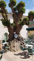 Korsika, Piana, Elefantenfussbaum