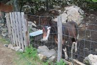 Pferd bei Serra-di-Scopamène