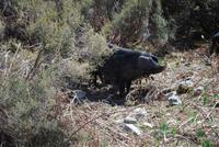 Hausschweine Alta Rocca
